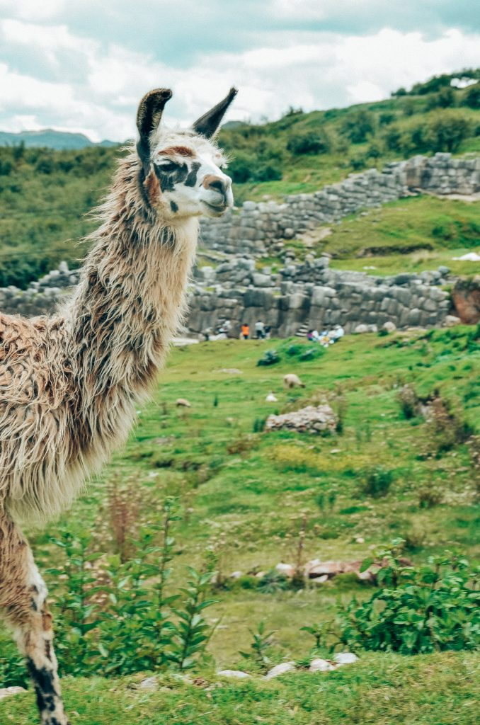 Why you need to visit Peru today - local alpaca