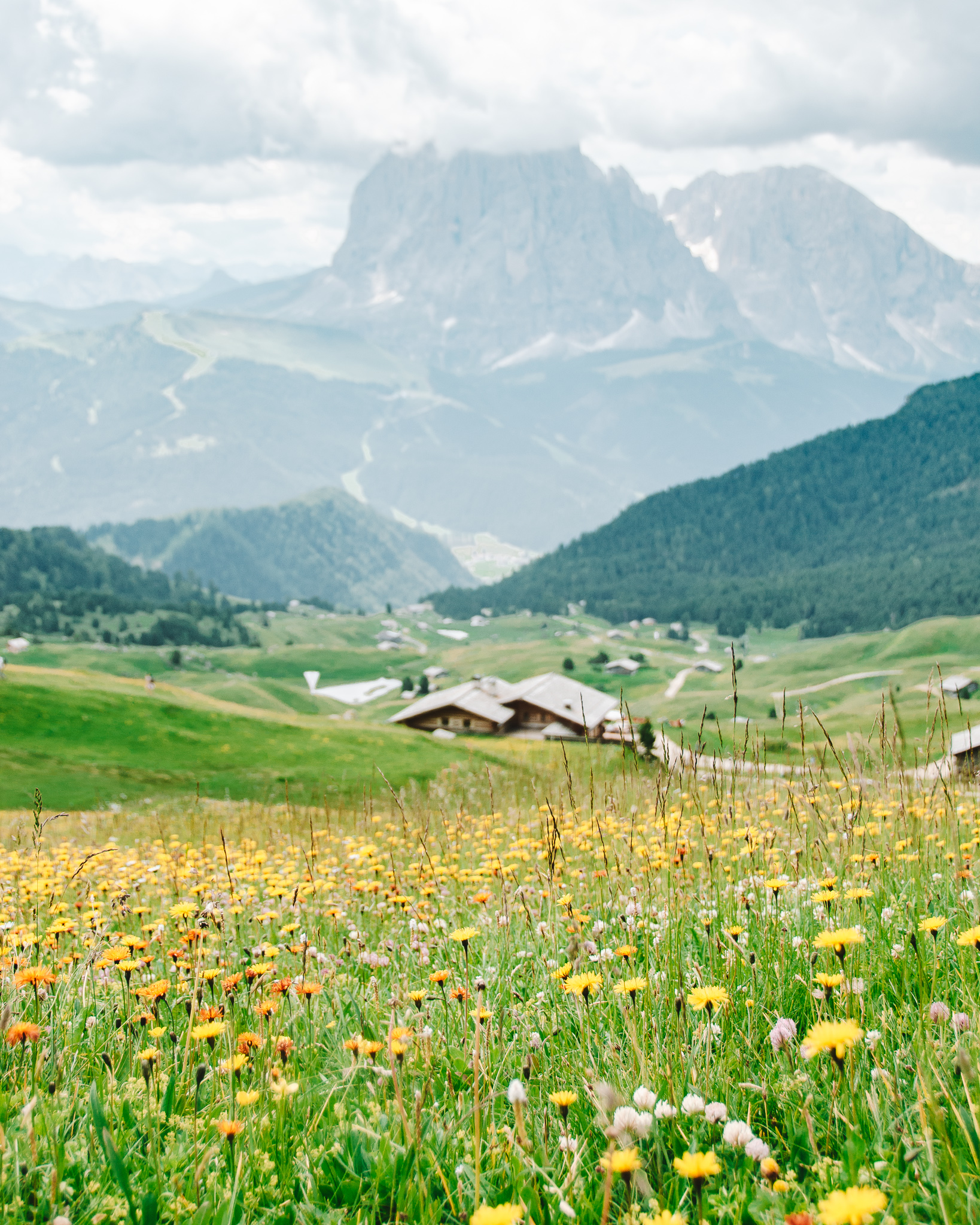 yellow mountain flowers in south tyrol dolomites