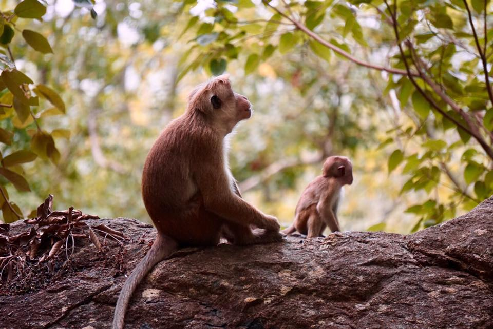 monkeys at sigiriya